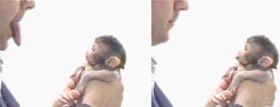 400px-makak_neonatal_imitation